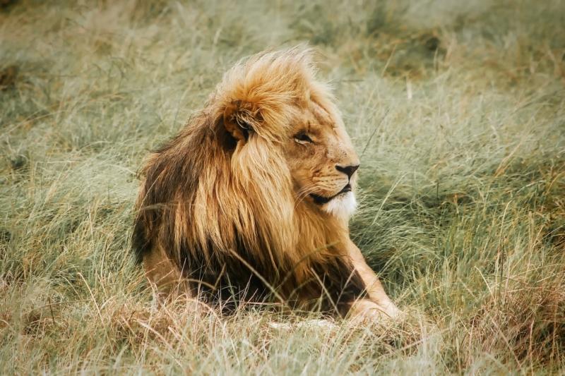 Ein Löwe, der entspannt in die Gegend schaut
